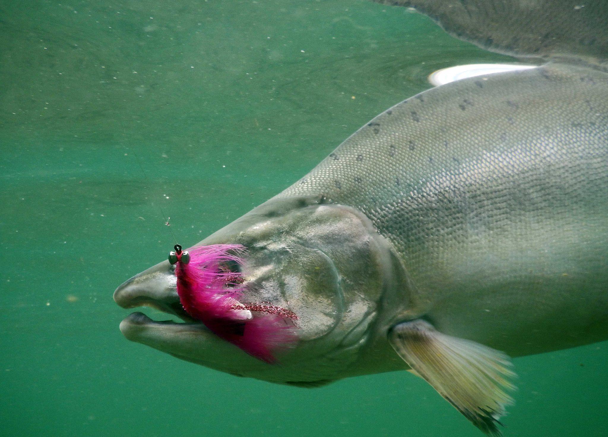 Alaska Pink (Humpy) Salmon Fly Fishing Trips | No See Um Lodge