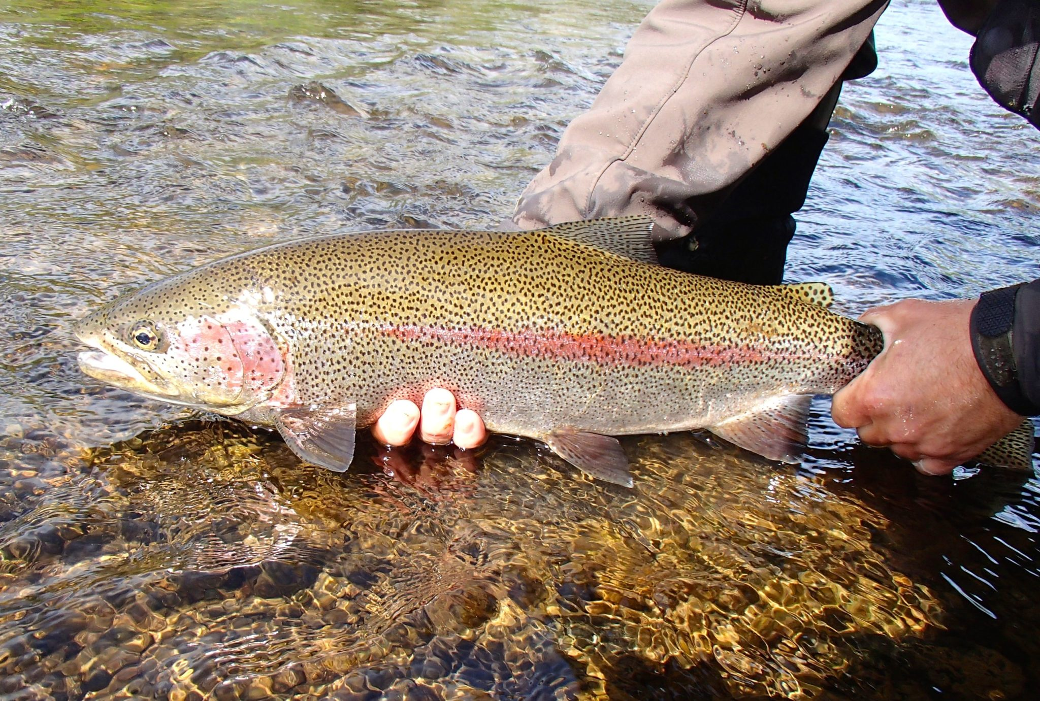 Alaska rainbow trout fly fishing trips no see um lodge for What is fly fishing