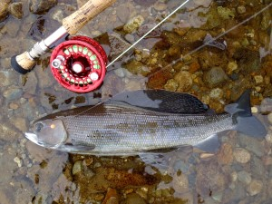 how to clean arctic grayling
