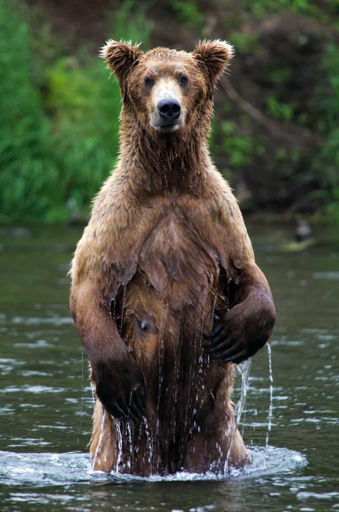Brown Bear watching in Alaska