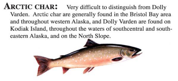Artic Char