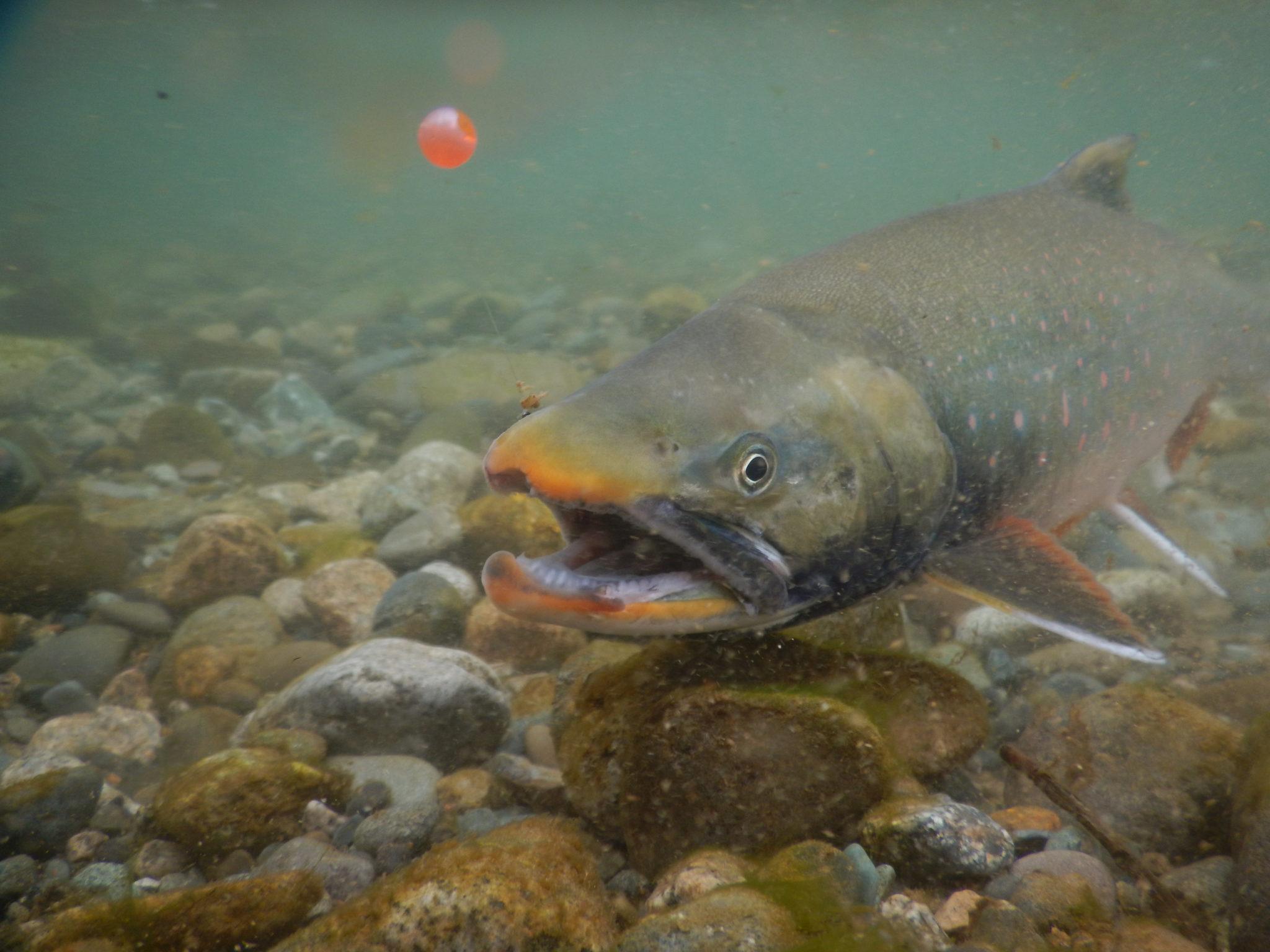 Alaska Arctic Char Fly Fishing Trips
