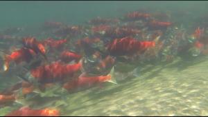 Sockeye Salmon Swimming